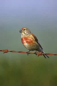 Linnet (Acanthis / Carduelis cannabina) male singing on rusty wire, West Yorkshire, England, May 2008 - STEVE KNELL