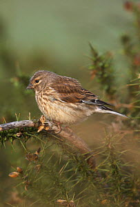 Linnet (Carduelis / Acanthis cannabina) female carrying hair in bill for nesting material, West Yorkshire, England, May - STEVE KNELL