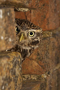 Little owl (Athene noctua) looking out of typical nest-hole in wall, captive, Gloucestershire, England, April - STEVE KNELL