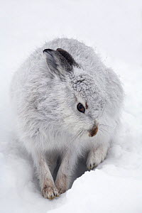 Mountain hare (Lepus timidus) in a snow-hole, Cairngorms National Park, Scotland, January - STEVE KNELL