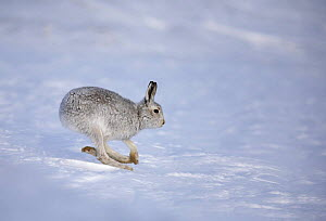 Mountain hare (Lepus timidus) running over snow, Cairngorms National Park, Scotland, January - STEVE KNELL