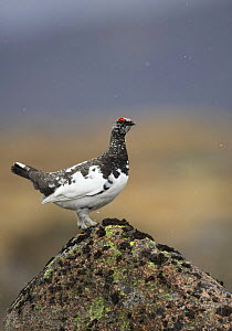 Rock ptarmigan (Lagopus mutus) male part way through changing into summer plumage, in light snow shower, Cairngorms National Park, Scotland, April - STEVE KNELL