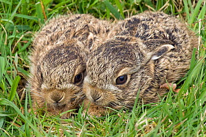 Two European hare (Lepus europaeus) leverets in grass, Surrey, England, UK - Andy Sands