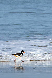 Oystercatcher (Haematopus ostralegus) running along incoming tide line, Wales, UK - Andy Sands