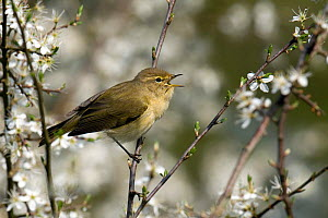 Chiffchaff (Phylloscopus collybita) in full song among Blackthorn (Prunus spinosa) blossom, Hertfordshire, England, UK.  -  Andy Sands