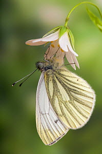 Green veined white butterfly (Pieris napi) captive, on flower of Greater stitchwort (Stellaria holostea), UK.  -  Andy Sands