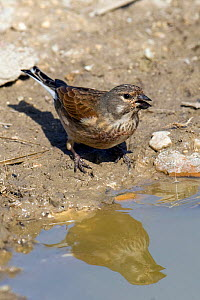 Linnet (Acanthis cannabina) drinking from muddy puddle, Hertfordshire, England, UK. - Andy Sands