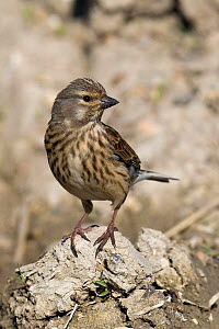 Linnet (Acanthis cannabina) female perched on mud on farm track, Hertfordshire, England, UK. - Andy Sands