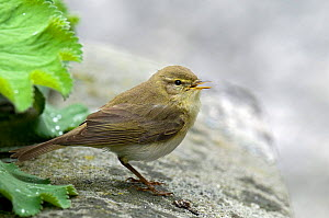 Willow warbler (Phylloscopus trochilus) singing on wall in garden, Upper Teesdale, Co Durham, England, UK.  -  Andy Sands