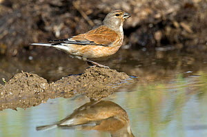 Linnet (Acanthis cannabina) female drinking from muddy puddle on farm track, Hertfordshire, England, UK. - Andy Sands