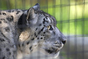 Snow Leopard (Panthera uncia) in cage in zoo, captive, USA.  -  DOMINIC JOHNSON