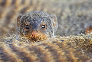 Banded mongoose (Mungos mungo) looking over the back of another, Queen Elizabeth National Park, Uganda  -  Edwin Giesbers