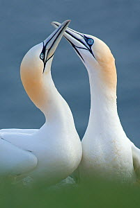 RF- Northern gannet (Morus bassanus) pair, Heligoland, Germany. April. (This image may be licensed either as rights managed or royalty free.) - Edwin  Giesbers