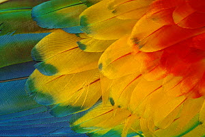 Scarlet macaw (Ara macao) close-up of feathers, Zoo Ave, Costa Rica  -  Edwin Giesbers
