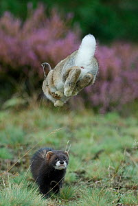 European polecat (Mustela putorius) hunting rabbit which is jumping to get away, Veluwezoom National Park, Netherlands  -  Edwin Giesbers