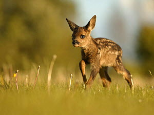 Roe deer (Capreolus capreolus) one week old fawn left in grass by mother, UK  -  Andy Rouse