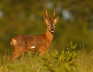 Roe deer (Capreolus capreolus) buck, portrait, UK  -  Andy Rouse