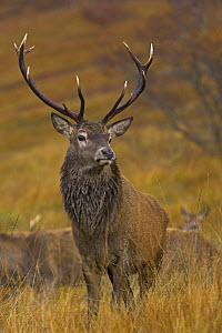 Red deer (Cervus elaphus) stag during annual rut with hinds, Scottish highlands, UK  -  Andy Rouse