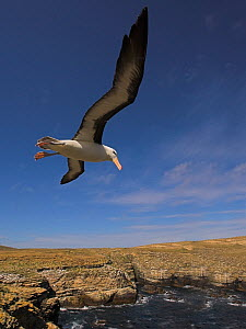 Black-browed albatross (Thalassarche melanophrys) flying over coastal habitat, Falkland Islands  -  Andy Rouse