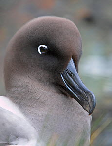 Light-mantled sooty albatross (Phoebetria palpebrata) portrait, South Georgia  -  Andy Rouse