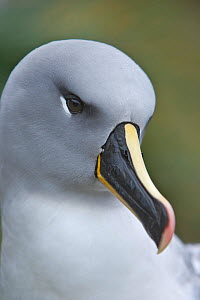 Grey-Headed albatross (Thalassarche / Diomedea chrysostoma) portrait, South Georgia  -  Andy Rouse