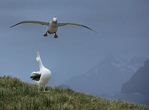 Wandering albatross (Diomedea exulans) flying with another looking up, South Georgia  -  Andy Rouse