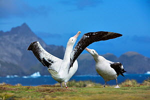 Wandering albatross (Diomedea exulans) pair bonding, South Georgia  -  Andy Rouse