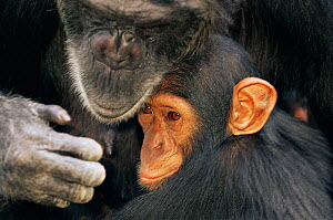Chimpanzee (Pan troglodytes) mother with youngster, captive, Chimfunshi Orphanage, Zambia. (non-ex). - Andy Rouse