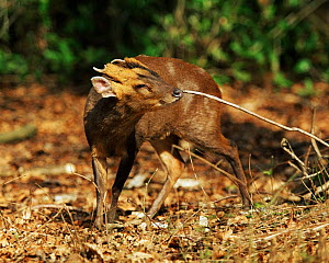 Chinese / Reeves Muntjac deer (Muntiacus reevesi) scent marking a stick in its territory, UK - Andy Rouse