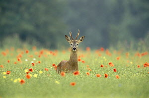 Roe deer (Capreolus capreolus) buck in poppy field during rut, Wiltshire, UK  -  Andy Rouse