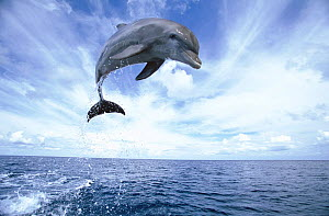 Bottlenosed dolphin (Tursiops truncatus) jumping, Caribbean (non-ex). Exclusive jigsaw puzzle rights worldwide sold until 31.12.2014.  -  Andy Rouse