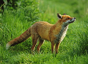 European red fox (Vulpes vulpes) smelling air, UK (non-ex)  -  Andy Rouse