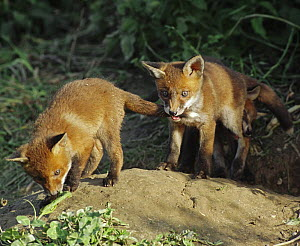 European red fox (Vulpes vulpes) cubs playing outside earth, UK (non-ex)  -  Andy Rouse