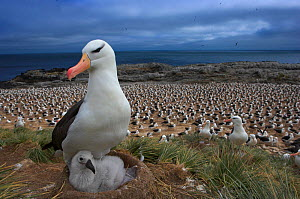 Black-browed albatross (Thalassarche melanophrys) with chick on nest, part of a large colony, Steeple Jason, Falkland Islands (non-ex)  -  Andy Rouse