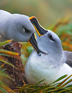 Grey-Headed albatross (Thalassarche / Diomedea chrysostoma) pair bonding on nest, South Georgia - Andy Rouse