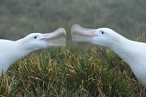 Wandering albatross (Diomedea exulans) pair bonding, South Georgia (non-ex) - Andy Rouse