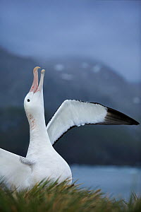 Wandering albatross (Diomedea exulans) courtship, South Georgia (non-ex)  -  Andy Rouse