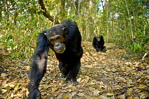 Chimpanzee (Pan troglodytes) walking in forest, Mahale NP, Tanzania (non-ex) - Andy Rouse