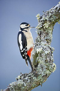 Female Great spotted woodpecker (Dendrocopus major) perched on a lichen covered branch, Cairngorm NP, Scotland, UK, winter - Chris O'Reilly