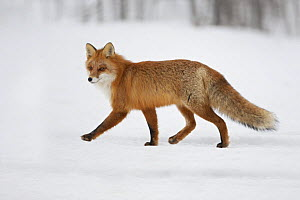 Red fox (Vulpes vulpes) hunting in a snow covered environment, Norway, winter - Chris O'Reilly