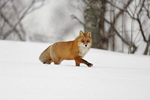 Red fox (Vulpes vulpes) walking through snow, Norway, winter - Chris O'Reilly