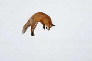 Red fox (Vulpes vulpes) leaping, hunting for prey in snow, Norway, winter - Chris O'Reilly
