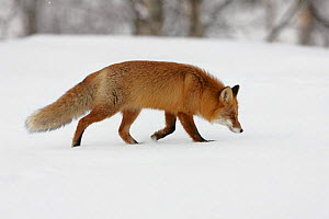 Red fox (Vulpes vulpes) following a scent in snow, Norway, Wild - Chris O'Reilly