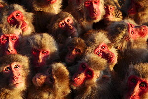 Japanese macaques (Macaca fuscata) faces looking up, huddling together for warmth on a cold day, Shodoshima, Japan  -  Yukihiro Fukuda