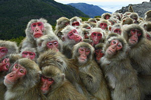 Japanese macaques (Macaca fuscata) huddling together for warmth on a cold day, Shodoshima, Japan  -  Yukihiro Fukuda