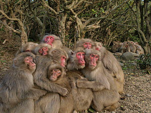 Two groups of Japanese macaques (Macaca fuscata) huddling together for warmth on a cold day, Shodoshima, Japan  -  Yukihiro Fukuda