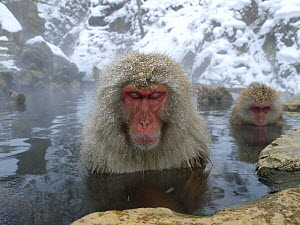 Female Japanese macaques (Macaca fuscata) in a hot spring to keep warm, only females and young bathe, Jigokudani, Joshinetsu Kogen NP, Nagano, Japan  -  Yukihiro Fukuda