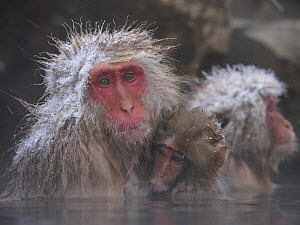Japanese macaque (Macaca fuscata) holding young while bathing in hot spring to keep warm, only females and young bathe, winter, Jigokudani, Joshinetsu Kogen NP, Nagano, Japan  -  Yukihiro Fukuda