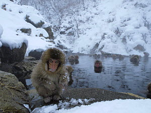 Japanese macaque (Macaca fuscata) eight months old sitting in front of a pool created by a hot spring  being used by females and young for bathing to keep warm, Jigokudani, Joshinetsu Kogen NP, Nagano...  -  Yukihiro Fukuda