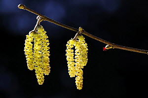 Close-up of Hazel inflorescence (Corylus avellana) in spring, with both male catkins and female flower visible, near Bradworthy, Devon, UK. March 09. - Ross Hoddinott